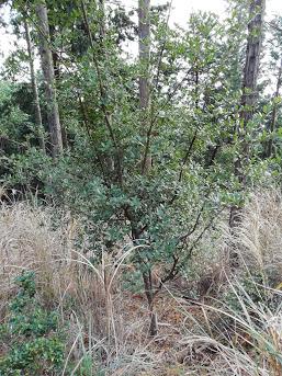 ウバメガシ(常緑樹―ブナ科)